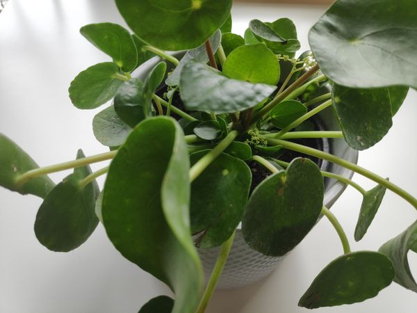 Pilea Peperomioides Care Guide