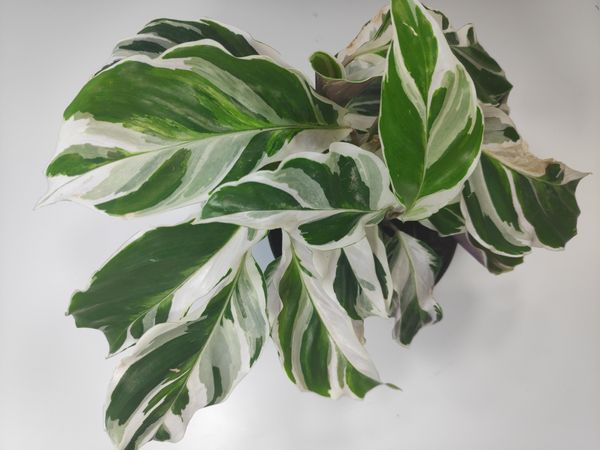 Calathea White Fusion Care Guide